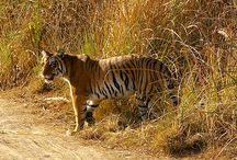 Jim Corbett Package Tour is famous in Uttaranchal Tour Packages / Jim Corbett Package Tour is best for spend holiday and enjoy tour package in Uttaranchal. This park is famous for Wildlife Tiger, Elephant and all type of species. This is unforgettable moment full with advanture and daring.