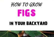 culture figs