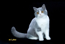 BRITISH SHORTHAIR / by Cat Fanciers Association