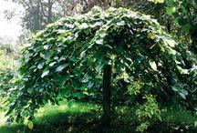 Puut ja pensaat / Pienelle pihalle sopimia puita ja pensaita