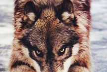WOLVES***