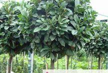 plant bolletjes op stam