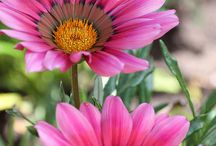 Gazania virágok