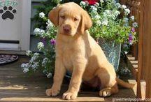 Labrador Retrievers / Pictures of America's favorite breed, the Labrador Retriever.