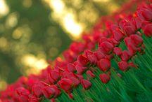 Тюльпаны / Tulips / Фото - Цветы - Тюльпаны / Flowers - Tulips