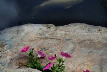 Koi fish and ponds