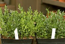 boxwood propagation- take cuttings between July-Oct. cuttings best taken from inside of the plant. cutting should be 4-5 inches long / by Matthew Goldizen