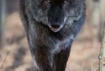 Dieren wolf