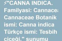 canna indica