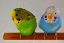 Papagájaim / papagájok