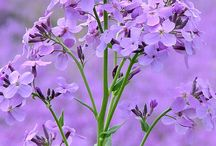 Colors - lilac
