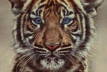 Tiger got to hunt, bird got to fly;