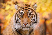 šelmi kočkovité- tygři / pár druhu na shlednutí