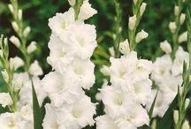 Gladiola-tulipán a vše v bílé