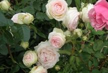 Garden roses / Some lovely garden roses from my garden.