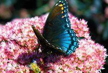 Butterflies, Bees and Pollinators