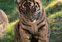 Tijgers / Omdat het mooie en sterke dieren zijn