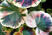 Pelargonium Geranium Герани / I like this flower. Summer for me  is this flower in pots :)
