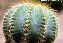 cactus - A Spiny Plant