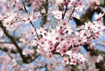 """C'est le printemps !! (Spring is here) / """"Les fleurs du printemps sont les rêves de l'hiver raconté, le matin, à la table des anges"""" (Khalil Gibran) Poète Libanais"""