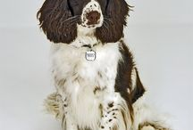 """English Springer Spaniel / Dating back to 17th Century, Springer Spaniels have long been prized for their ability to assist hunters by driving or """"springing"""" birds from bushes, trees and fields hence where the dog gets it's name. See more at: http://www.noahsdogs.com/m/dogs/breed/Cocker-Spaniel#sthash.ALm0fhY3.dpuf www.NoahsDogs.com"""