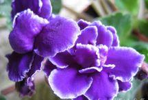 kytky fialky 2