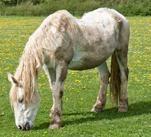 Cushings in Horses