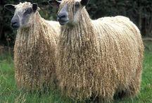 Sheep / Any