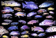 Lake Malawi Cichlids