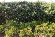 Deer Resistant Plantings in Marin / Marin Deer Resistant Plantings