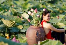 Lotos / Lotos ist die Nationalblume Vietnams. Es ist enge mit dem Alltagsleben der Menschen verbunden. Es entsteht in der vietnamesischen Kultur, Tradition beim Essen und Trinken...