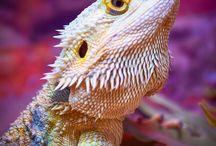 dragons, lizards, geckos / Variety of said animals