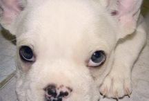 Mis próximos cachorros / Cachorros dogos argentinos, bulldogs francés entre otros