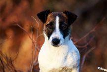 Jack Russel Terrier / chiens Jack Russell Terrier d'Austral & Boréal