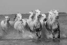 La Camargue horses / White stallions