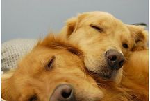 Goldens are the BEST! / by Karla B