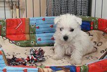 My Westie Cookie