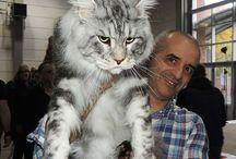 nagy macs