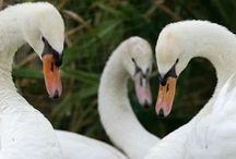 Cisne (Ave) / Cisnes são aves aquáticas da subfamília Anserinae, que inclui também os gansos. No seu conjunto, formam o género Cygnus, sendo caracterizados pelo longo pescoço e por patas curtas.