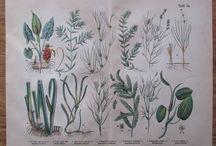 botanical old print