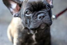frenchies / dog equivalent to my cat  / by Maggie Rhyne