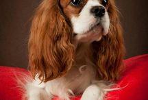 Kavalír king charles španěl, Cavalier King Charles Spaniel / Kavalíří jsou krásní a nenároční pejsci. Podívejte se na ně a určitě si je zamilujete. Cavaliers are beautiful little dogs. Look at them and you will definitely love them. Kavaliere sind schöne kleine Hunde. Schau sie dir an und du wirst sie auf jeden Fall lieben.