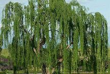 Weeping Willow / Images of the weeping willow tree