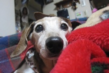 my dog / ねむねむじじい16歳。ミニチュアダックスフンドのオス。ランディといいます。北海道で私の両親と暮らしています。 / by Amii Fujita