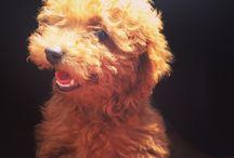 Morrison / Poodles / by Chibi Samaniego