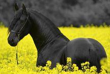 Frízsky kôň