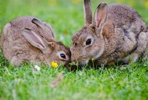 Rabbits / Giant Rabbit Breeds: Are They Good Enough As Pets?