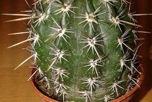 Thelocactus hastifer v. Melocactus