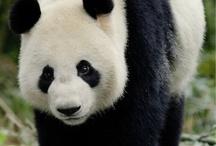 panda !!!!! / bil