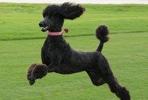 Standard Poodles ❤